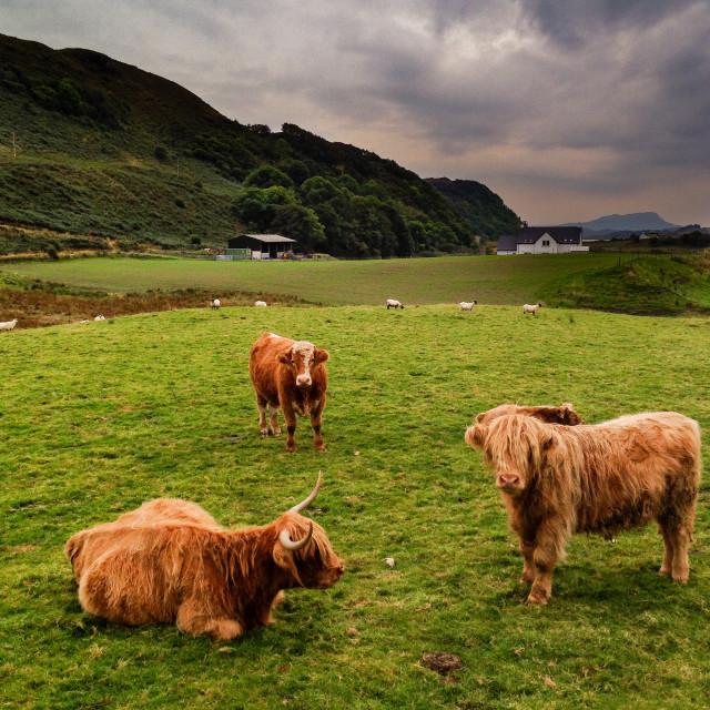 """""""Highland Cattle upright"""" stock image"""