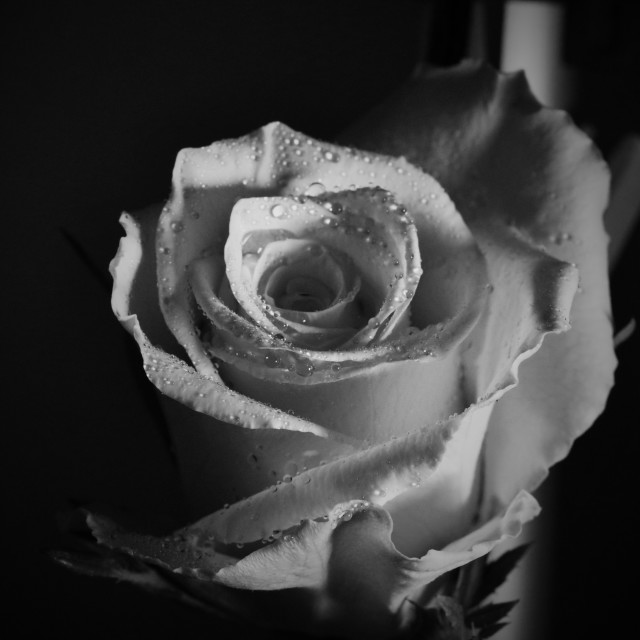 """white rose"" stock image"