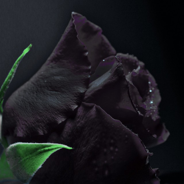"""black rose"" stock image"