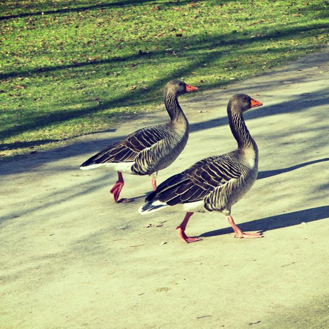 """Two geese walking"" stock image"