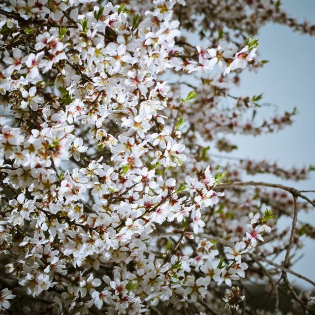 """""""Almond-tree"""" stock image"""