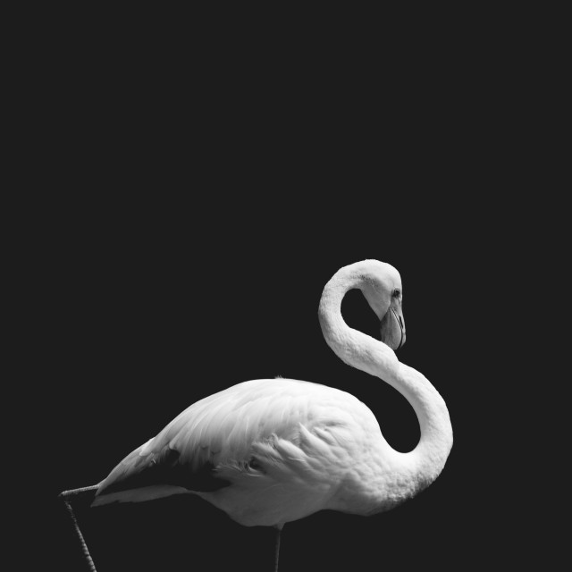 """Stand like Flamingo"" stock image"