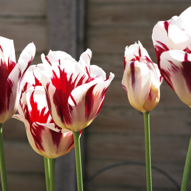 """""""Red and white tulips"""" stock image"""