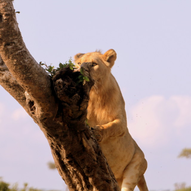 """Climbing Lion"" stock image"