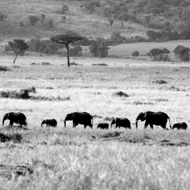 """""""Herd of Elephants"""" stock image"""