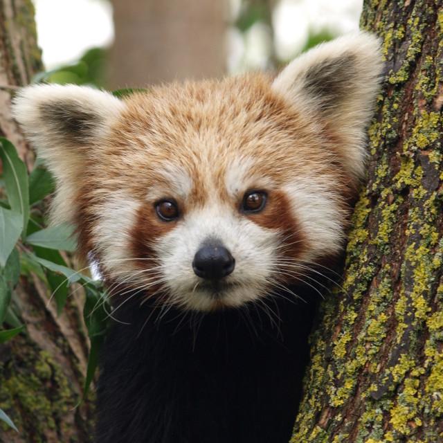 """Peekaboo Panda"" stock image"