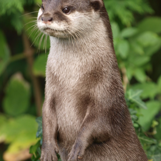"""""""Otter lookout"""" stock image"""