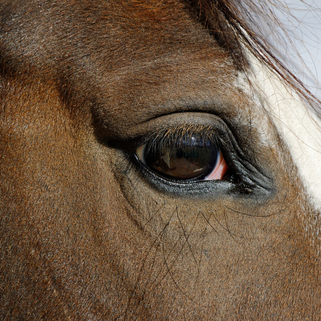 """Horse Eye Close Up"" stock image"