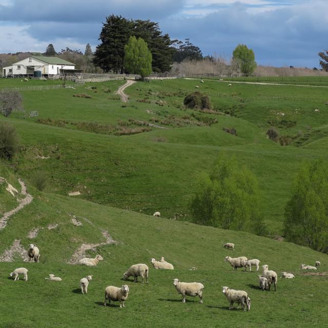 """sheep farm"" stock image"