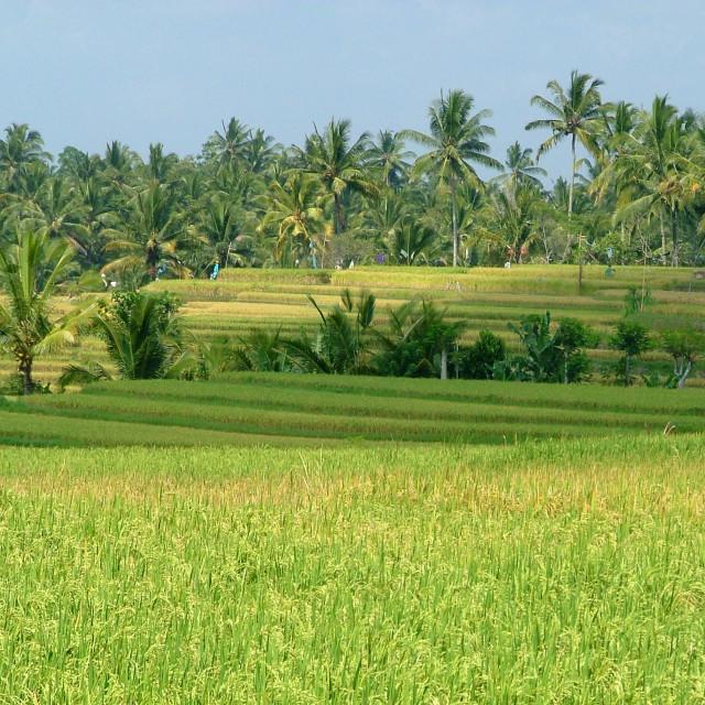 """""""Bali rice paddy"""" stock image"""
