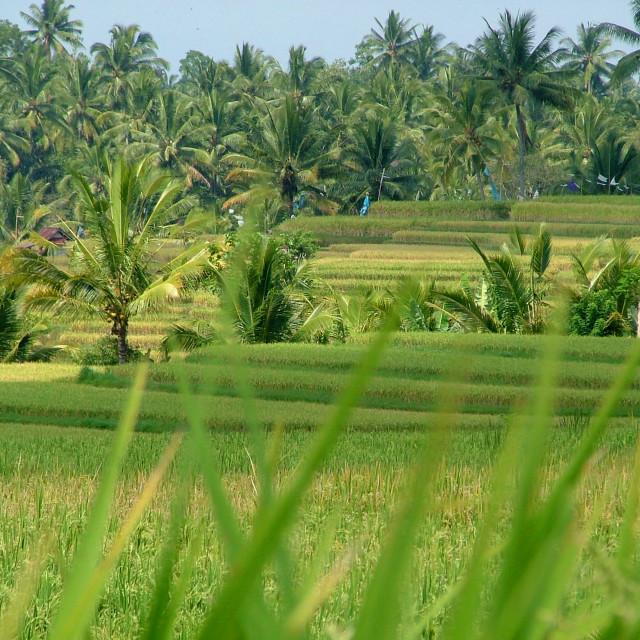 """""""Rice Paddy Bali"""" stock image"""