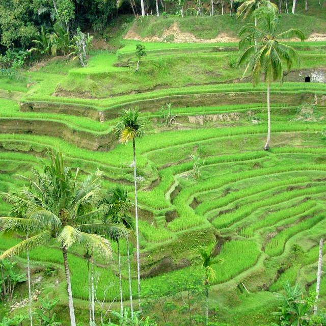"""Rice terraces Bali"" stock image"