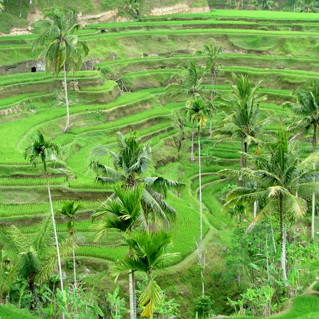 """Rice terraces Bali"" stock image"