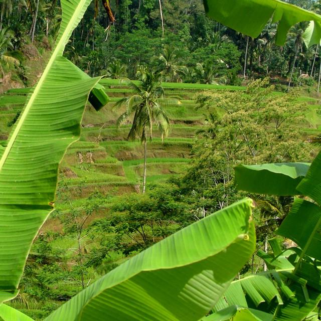 """Bali rice terrace"" stock image"