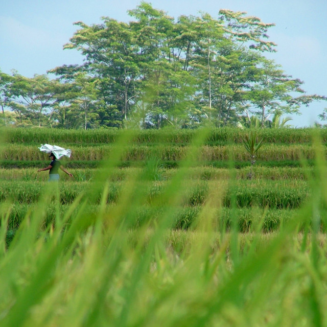 """Rice Paddy"" stock image"