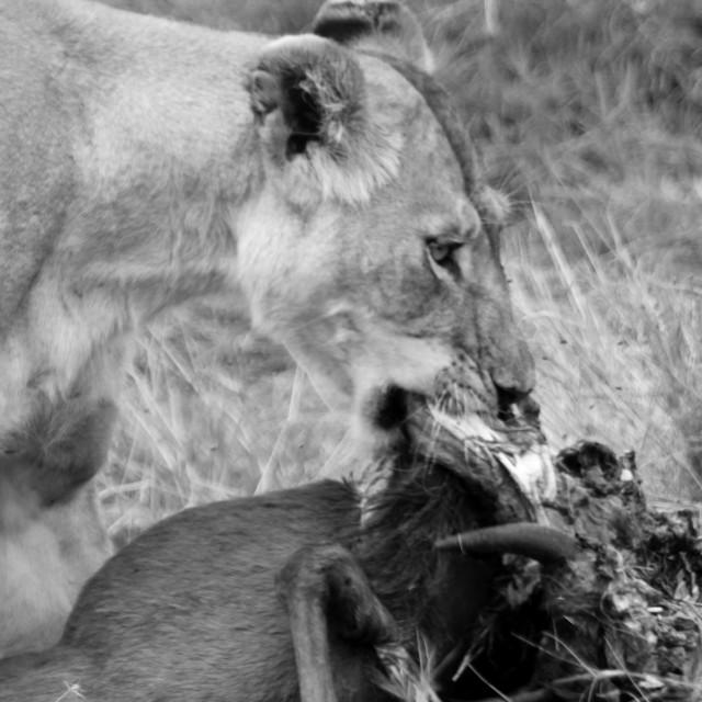 """Lion kill"" stock image"
