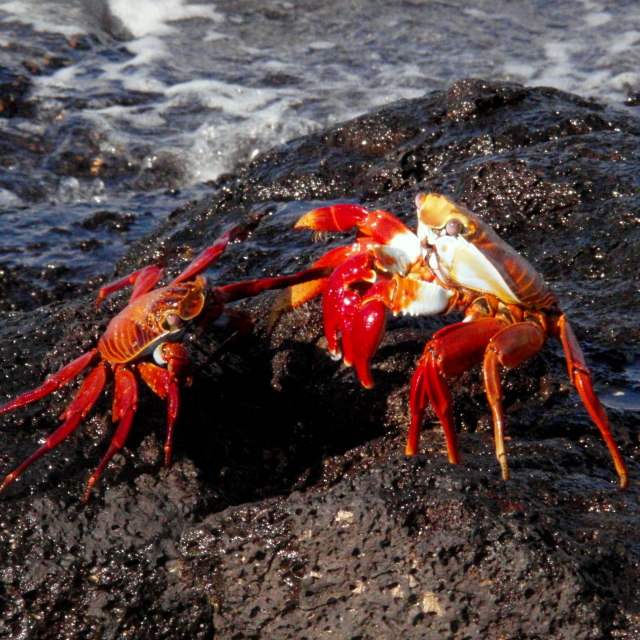 """Crab fight"" stock image"