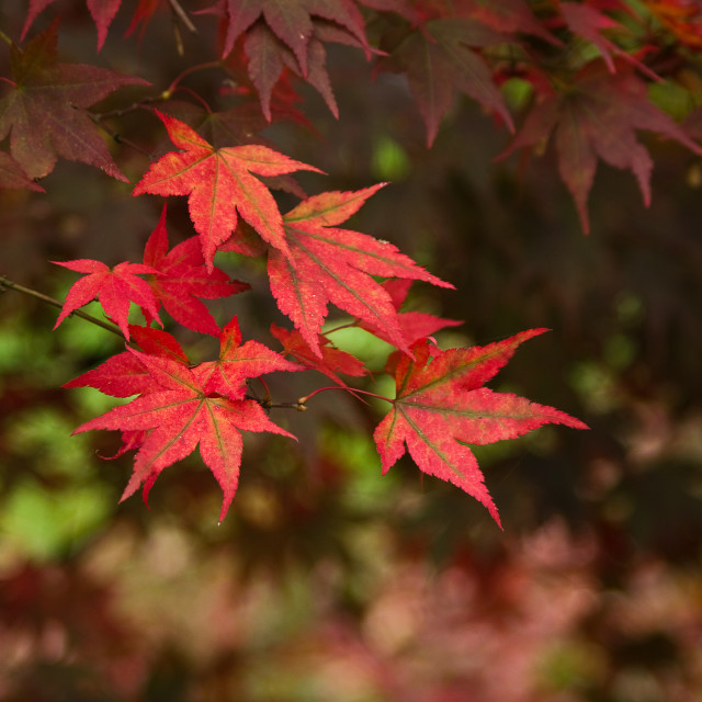 """""""Red Acer leaves"""" stock image"""