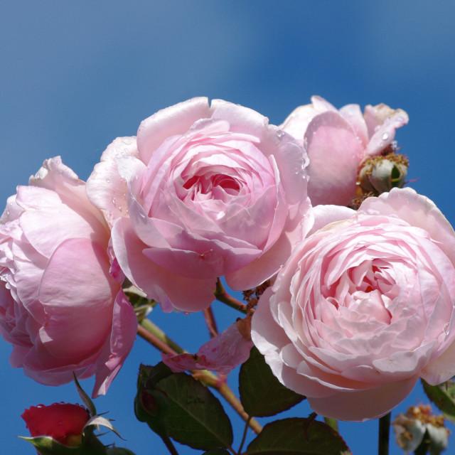 """""""Shropshire Lad rose"""" stock image"""
