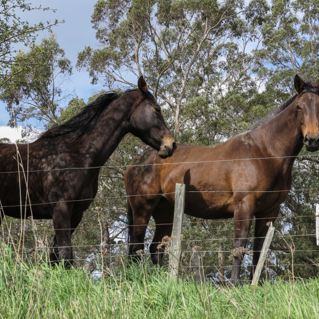 """""""Two horses"""" stock image"""