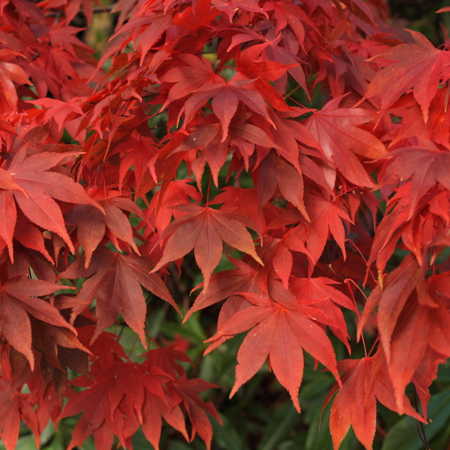 """""""acer leaves"""" stock image"""