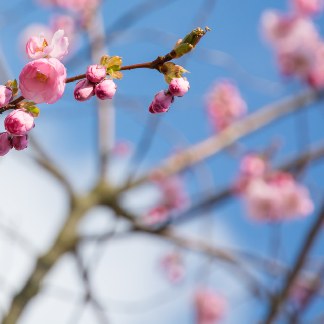 """Pink cherry flowers"" stock image"