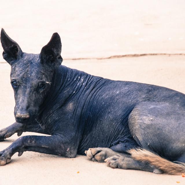 """""""Inca hairless dog"""" stock image"""