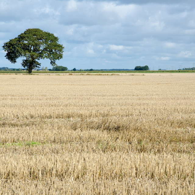 """""""Stubble field with a lone tree"""" stock image"""
