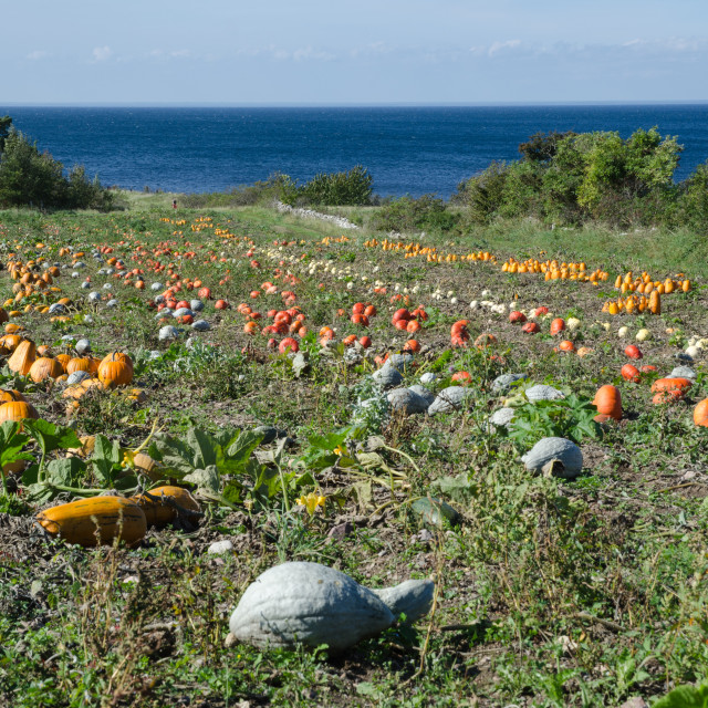 """Colored pumpkins"" stock image"