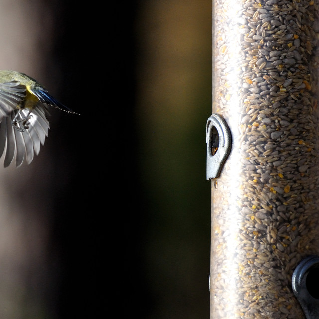 """A Great Tit in flight"" stock image"