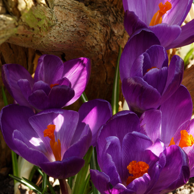 """Crocuses in Spring"" stock image"