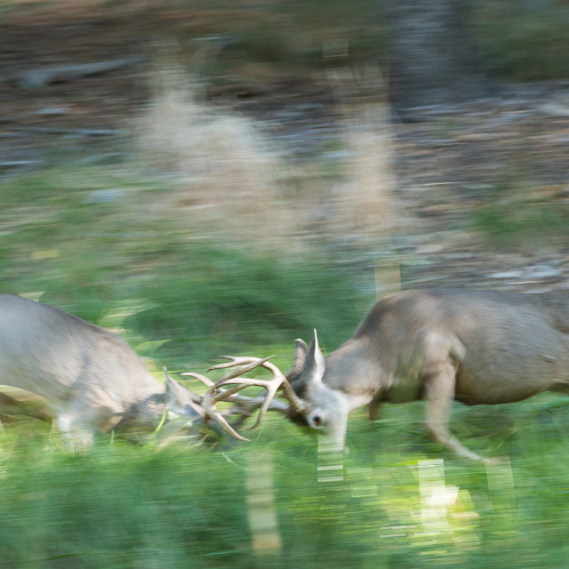 """Mule deer bucks sparring during the early part of the rut in Yosemite Valley."" stock image"