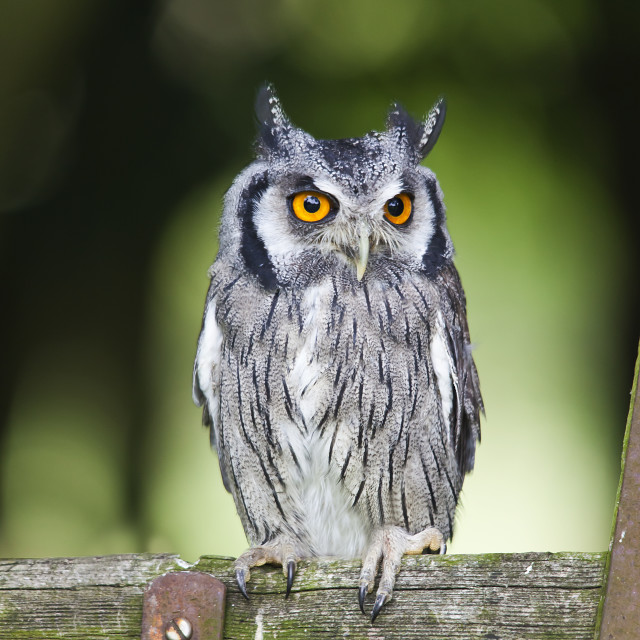 """""""Northern white faced owl"""" stock image"""