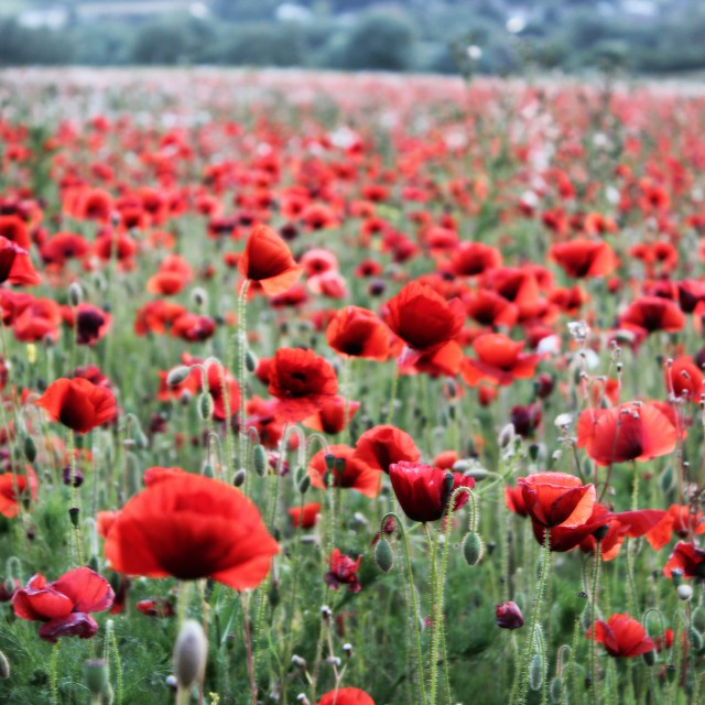 """Field Of Red"" stock image"