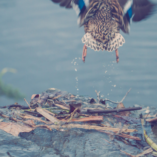 """Duck at take-off"" stock image"