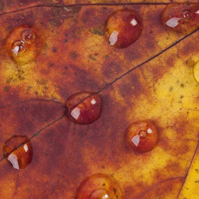 """Raindrops on an Autumn Leaf"" stock image"