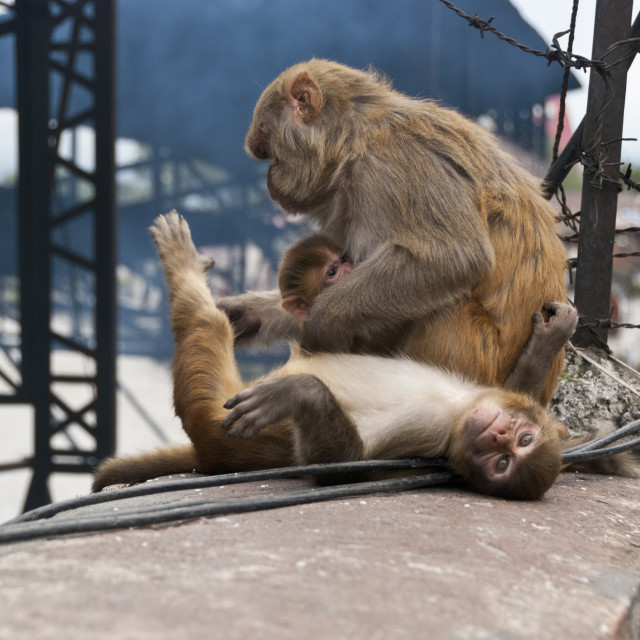 """Family of monkeys, Nepal"" stock image"