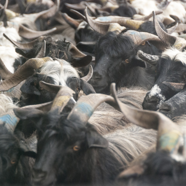 """Nepalese Khari goats"" stock image"