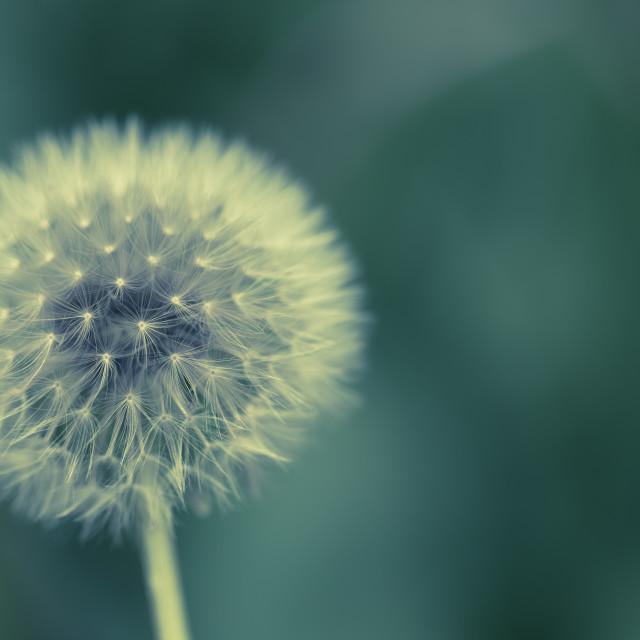 """Dandelion"" stock image"