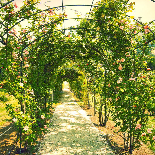 """Love path rosarium, tunnel of roses"" stock image"