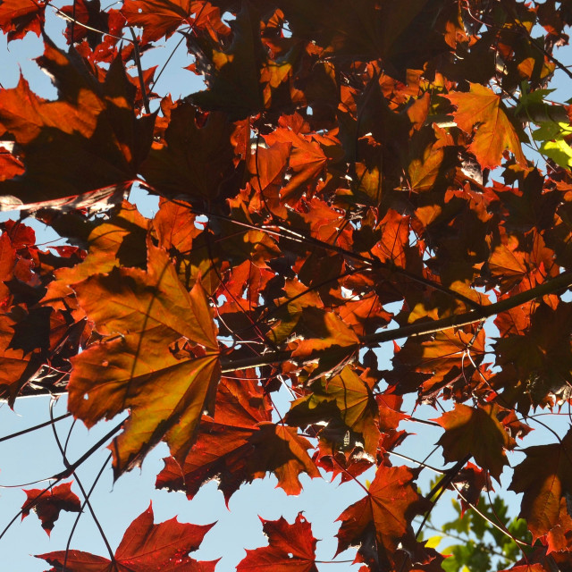 """""""Red leaves of Autumn"""" stock image"""