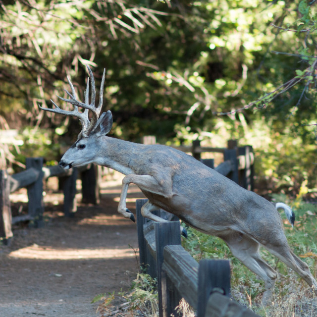 """""""Mule deer buck jumping over a fence in Yosemite Valley."""" stock image"""