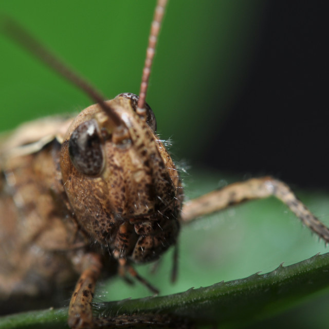 """Grasshopper1"" stock image"