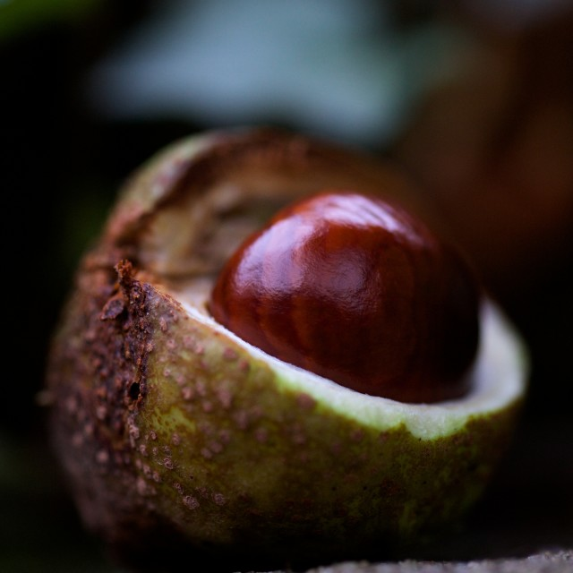 """Birth of a Conker"" stock image"