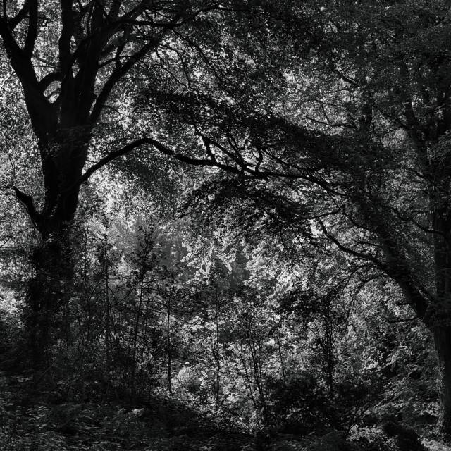 """""""Irish Woodland"""" stock image"""