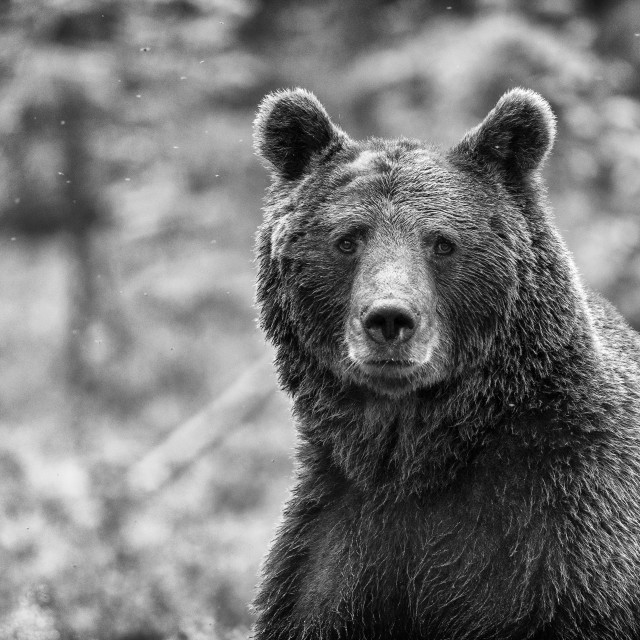 """Bear"" stock image"