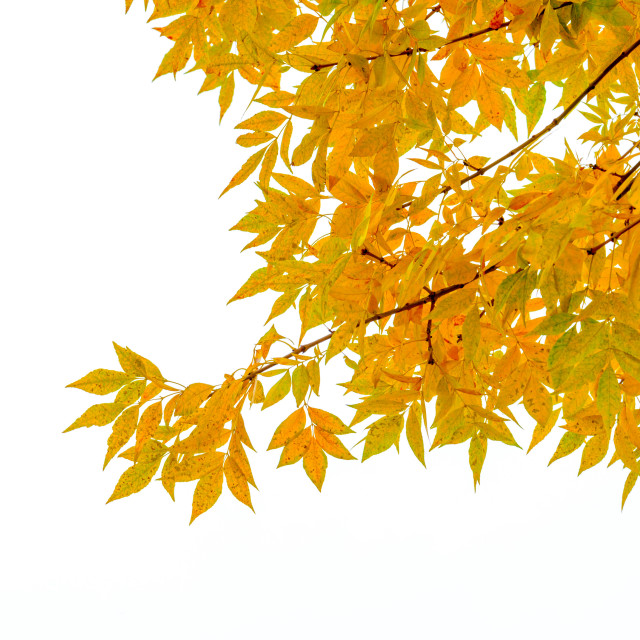 """Yellow Ash Tree Leaves"" stock image"