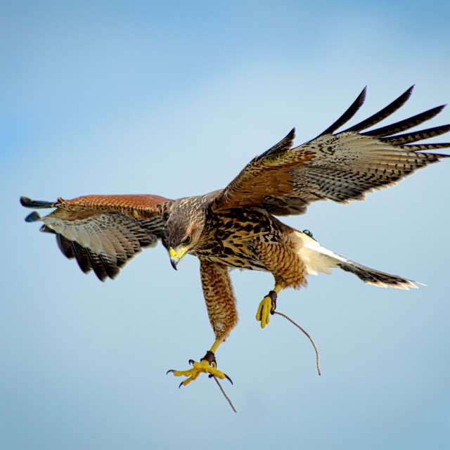 """Hovering Hawk"" stock image"