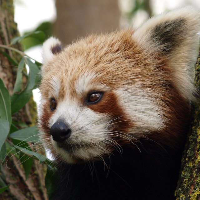 """""""Pensive Panda"""" stock image"""