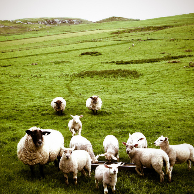 """Sheep, Malin Head"" stock image"